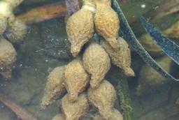 カミナリイカの卵